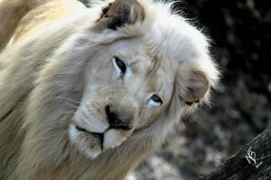 White Lion by njbartworks