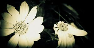 black and white flowers. by Tlauranoko