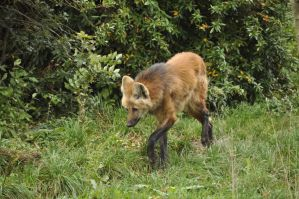 Maned wolf stock 12 by windfuchs