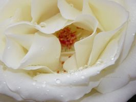 White Rose by Bimmi1111