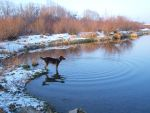Dogwalk Photo - Haku on Ice #2 by SusuSketches
