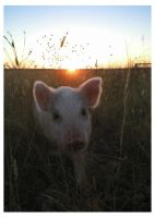 Sun Pig by Chevs-are-good