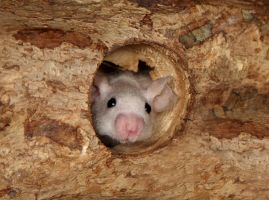 Banger - Hairless mouse stock by NickiStock