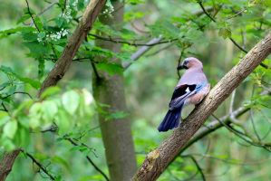 Beauty of the Eurasian Jay by pagan-live-style