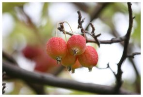 Crab Apple by SassyPants61762