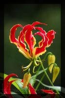 Flame Lily by Wild-Soul