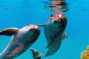 Funny dolphins by Vitaly-Sokol