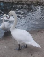 Heart Swans XD by Fran48