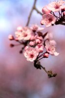 Pink Blossom by hk-passey