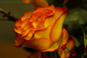 Rose by TLO-Photography