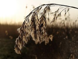 Frost Covered Reed by sandor99