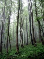 Beech forest: :1 by Ilharess