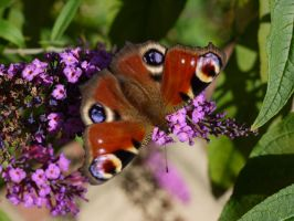 Peacock Butterfly by piratepigeon