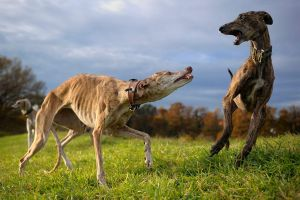 Dancing Galgos... by Alyat