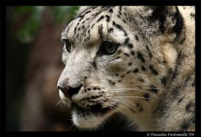 Snow Leopard Closeup by TVD-Photography