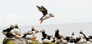 Puffin Landing by Shadow-and-Flame-86