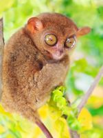 Phillipine tarsier by MotHaiBaPhoto