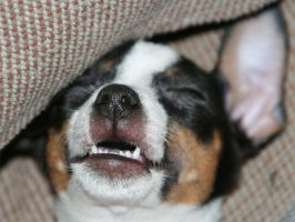 toy fox terrier sleeping by downtempomusic