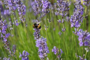 Lavender and a Bee by MCR-rocks-MY-world