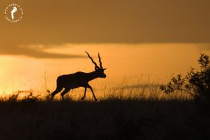 Black-buck-at-horizon by k-v-bhat