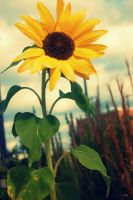 My Love For Sunflowers by Kelsey-Brown