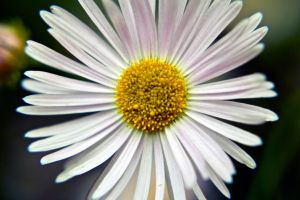 A daisy for Carly.... by drewii57