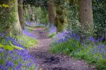 Bluebells by Lazlowoodbine2010
