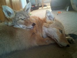 Commisoned Coyote and Fiasco close up by LittleWolfPaw