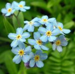 Forget-me-not, naturally by JocelyneR