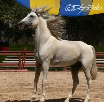 Andalusian Stallion - 57 by ElaineSeleneStock