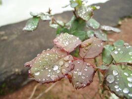 Leaves with droplets by nyanperona-chu