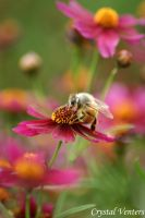 Bee on Maroon by poetcrystaldawn