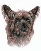 Australian Terrier by ArtsandDogs