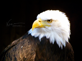 Bald Eagle by Krissey