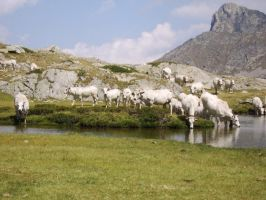 Cows and lake of Vacca (cow) by FraterSINISTER