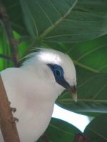 Bali Starling 05 by Ghost-Stock