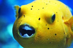 smiling blowfish by AnjaSchlegelmilch