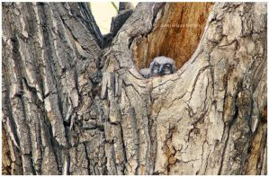 Great Horned Owl Baby Owlets by kkart