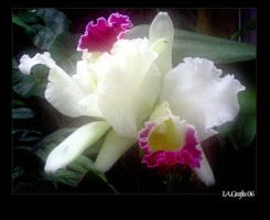 Orchid-Series: 1 by I-A-Grafix