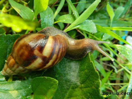 Snail on leaf by ngasih