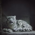 Snow Leopard redux by MonsterBrand