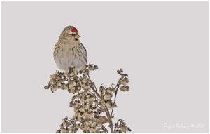 Common Redpoll by Ryser915