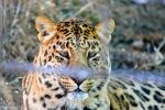 Beautiful Leopard by EBoss01