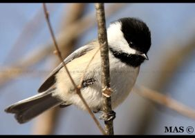 Black-capped Chickadee_4656 by MASOCHO