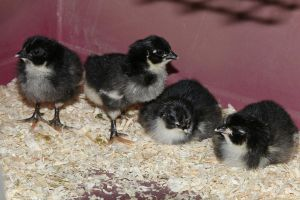 Chick Stock 13 by Malleni-Stock