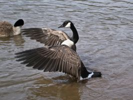 canadian geese XIII by Baq-Stock