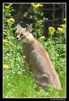 Caracal in a Field of Flowers by UrsusAmericanus