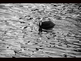 Coot in Black and White by GMCPhotographics