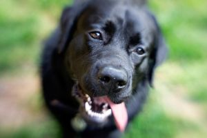 Black Lab VII by LDFranklin