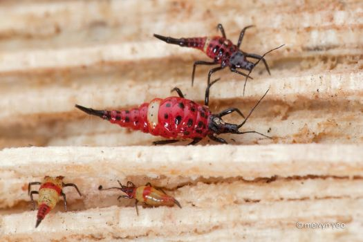 Thrips with Mites by melvynyeo